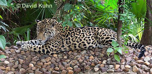 0615-1110  Jaguar, Belize, Panthera onca  © David Kuhn/Dwight Kuhn Photography