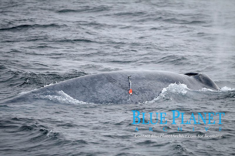blue whale, Balaenoptera musculus, with satellite tag and delivery tube hanging loose, The ARTS delivery tube eventually drops off, Svalbard, Norway, Arctic Ocean