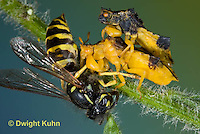 AM02-578z   Ambush Bugs mating, female feeding on Sandhills Hornet prey with long sharp beak,  Phymata americana