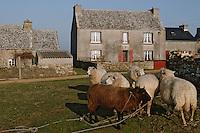Europe/France/Bretagne/29/Finistère/Ile d'Ouessant: fête des moutons - Rabattage des moutons