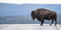 A bison pauses in the middle of the road in Yellowstone.