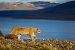 Mountain Lion (Puma concolor) six month old female kitten, Torres del Paine National Park, Patagonia, Chile