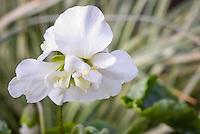 Viola odorata 'Alba Plena' white flowers double violets in spring bloom