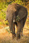 African Elephant (Loxodonta africana) bull feeding, Greater Makalali Private Game Reserve, South Africa