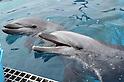 Mother dolphin Rigu and son Sky at Hakkeijima Sea Paradise