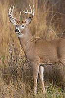 White-tailed Deer Buck (Odocoileus virginianus) in late fall.