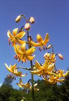Lily species Hanson's Lily Lilium hansonii