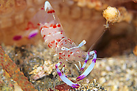 cleaner shrimp, Periclimenes kobayashii, Izu ocean park, Sagami bay, Izu peninsula, Shizuoka, Japan, Pacific Ocean