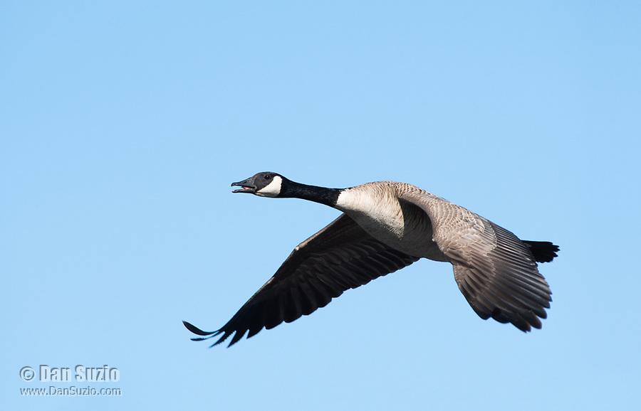 Canada Goose, Branta canadensis, flying over Lake Ewauna, Oregon