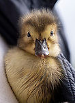 Pictured:  The duckling at the couples home.<br /> <br /> A couple have become the unexpected owners of a duckling after finding an abandoned egg - and hatching it in their oven.  Heartwarming photographs and videos show the days-old duckling following Will Hall and Alice Kendall around their home after they rescued it, even 'terrifying' their big German pointer, Meg.<br /> <br /> Mr Hall, a teacher at leading independent school Winchester College, discovered the duck egg while out walking in a grassy area on Saturday and couldn't find its nest.  Not wanting to leave the egg, the 26 year old FaceTimed his events coordinator partner and the pair hatched a plan to save it.<br /> <br /> Miss Kendall, 22, preheated the oven at their home in Winchester, Hants, ready for their arrival, setting up a makeshift incubator by placing a tea towel on a baking tray.  SEE OUR COPY FOR DETAILS.<br /> <br /> Please byline: WRH Photography/Solent News<br /> <br /> © WRH Photography/Solent News & Photo Agency<br /> UK +44 (0) 2380 458800