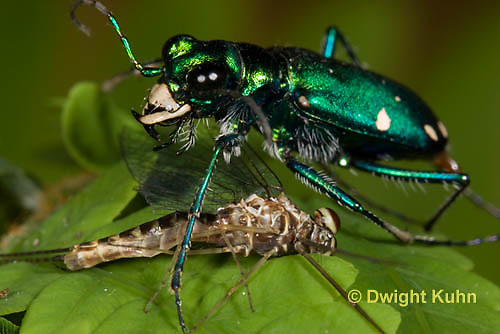 1C35-583z Six-spotted Green Tiger Beetle - Cirindela sexguttata - close-up of head and jaws, eyes - consuming Mayfly.