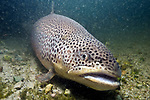 Brown trout sitting on sand and cobble bottom habitat