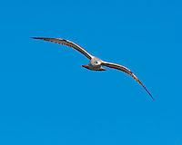 Gull, Inks Dam Fish Hatchery, Texas