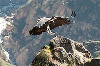 A condor takes a rest from its flight in the Colca Canyon.  These magnificent birds can be seen soaring through the sky and ascending through the canyon early in the day...