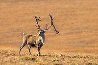Bull caribou, rangifer tarandus, on tundra north of the Brooks Range, Arctic, Alaska.