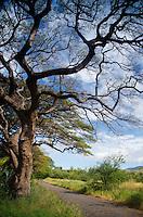 Trees Over the Old Road, Lahaina, Maui, Hawaii, US