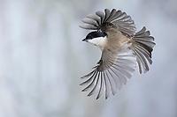 Sumpfmeise, Flug, Flugbild, fliegend, Sumpf-Meise, Nonnenmeise, Meise, Meisen, Poecile palustris, Parus palustris, marsh tit, flight, flying, tit, tits, La mésange nonnette