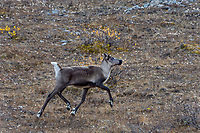 Woodland Caribou or mountain caribou (Rangifer tarandus caribou) cow in alpine tundra, Northern Rocky Mountains,  British Columbia.  Fall.
