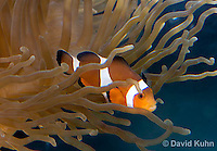 0321-1134  False Percula Clownfish (Ocellaris Clownfish), Amphiprion ocellaris, with Bulb-tipped Anemone, Entacmaea quadricolor  © David Kuhn/Dwight Kuhn Photography