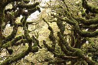 Beech trees cloaked in moss of goblin forest on Panekiri Bluff, Te Urewera, Hawke's Bay, North Island, New Zealand, NZ