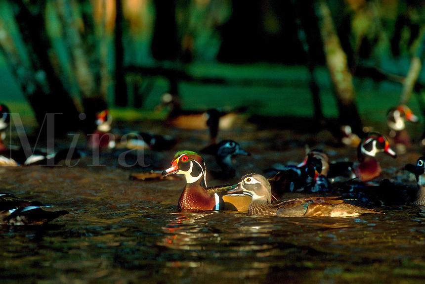 Mallard ducks - male and female.