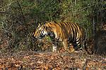Bengal tiger cub (Panthera tigris tigris) - around 20 months old - walkiing through forest. Bandhavgarh National Park, Madhya Pradesh, India.