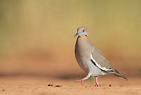 White-winged Dove (Zenaida asiatica), adult running, Rio Grande Valley, South Texas, Texas, USA