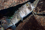 Striped Burrfish resting on ledge