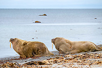 Two Atlantic walruses, Odobenus rosmarus rosmarus, on the beach, Smeerenburgfjord, Spitsbergen Archipelago, Svalbard and Jan Mayen, Norway, Europe