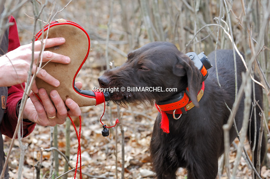 00901-001.10 Pudelpointer (DIGITAL) is getting a drink of water from wine skin carried afield for dog watering purposes.  H5F1