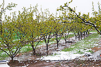 Apricot trees in spring snow.  Vincent Paris, Cornas, Ardeche, Ardèche, France, Europe