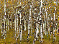 Having shed most of their leaves a tangle of aspen trunks and limbs stand in the Inyo National Forest.