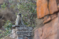 Green Monkey on the sandstone escarpment of Fouta Djallon Massif, south eastern Senegal