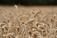 14-8-2021 Wheat fit for harvest in Rutland<br /> Tim Scrivener Photographer 07850 303986<br /> …..Covering Agriculture In The Uk…..