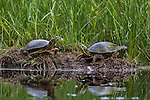 Two painted turtles