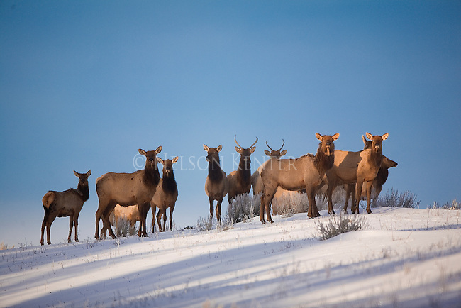 Herd of elk in winter in Montana, cows and spike bulls