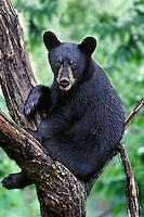 BLACK BEAR (Ursus americanus) resting in tree.  Northern U.S., summer.