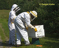 1B18-540z  Honeybees swarming, hive keepers collecting the swarm mass to start a new hive, Apis mellifera