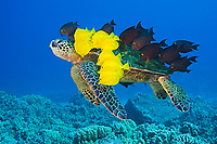 Endangered species, Green Sea Turtle, Chelonia mydas, being cleaned by Yellow Tang, Zebrasoma flavescens, and Gold-ring Surgeonfish, Ctenochaetus strigosus, (endemic to Hawaii), off Kona Coast, Big Island, Hawaii, Pacific Ocean