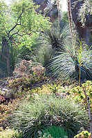 Dasylirions and succulents in Bancroft Garden