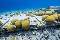 Grooved Brain Coral, Diploria labyrinthiformis, growing on metal block, Bonaire, Netherland Antilles, Netherlands, Caribbean Sea, Atlantic Ocean