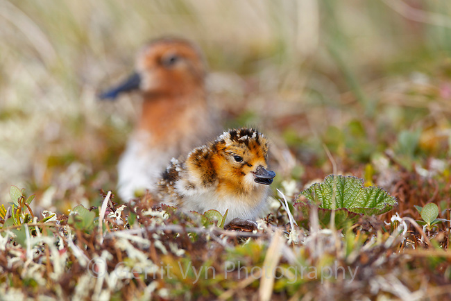 When Spoon-billed Sandpiper chicks hatch they need some time to dry under the adult but as soon as they are able they begin stumbling out of the nest and making brief feeding forays within a few meters. During this time they try to catch small insects. At first they are very clumsy but they quickly are able to feed themselves – they are never fed by the adult. Once all chicks have hatched and are ready they leave the nest for good. The adult male accompanies them - giving alarm calls to warn the chicks of danger and warming the chicks in their early days. Chukotka, Russia. July.