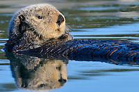 Alaskan or Northern Sea Otter (Enhydra lutris) resting.