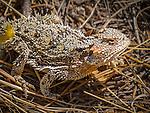 """Horned Lizard (""""Horny Toad"""") near Mount Elden, Flagstaff, Arizona"""