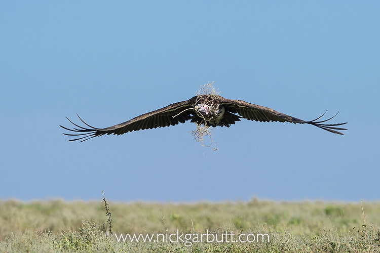 Adult Lappet-faced or Nubian Vulture (Torgos tracheliotos) carrying nesting material and returning to its nest. Serengeti National Park, Tanzania.