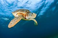 green sea turtle, Chelonia mydas, endangered species, Akumal Bay, Mexico, Caribbean Sea, Atlantic Ocean