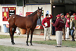 2011 Horse of the Year, Havre De Grace at the Fasig Tipton Kentucky November Sale.  Consigned by Taylor Made Sales.November 04, 2012.