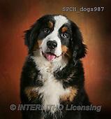 Xavier, ANIMALS, REALISTISCHE TIERE, ANIMALES REALISTICOS, dogs, photos+++++,SPCHDOGS987,#A#