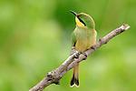 Little bee-eater (Merops pusillus), Kwara Reserve, Okavango Delta, Botswana