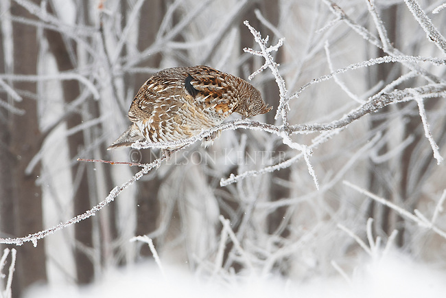 A ruffed grouse feeding on buds from the branches of a frost covered tree in a forest in western Montana during the winter